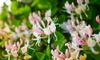 honeysuckle vines blooming with flowers