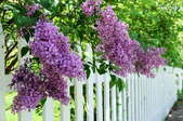 A lilac bush against a white picket fence.