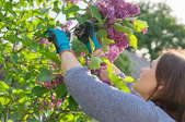 woman trimming lilac bush blossoms