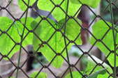 wire fencing used as a trellis