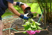 Removing a pink Hydrangea from a plastic pot.