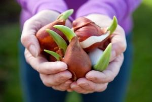 Gardener's hands holding sprouting tulip flower bulbs