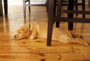 A dog lays on hardwood floors.