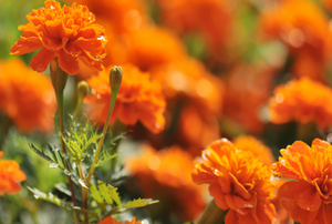 orange marigolds growing in the sun