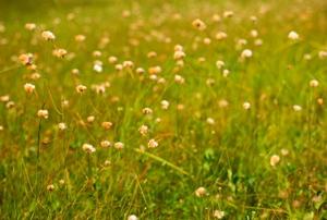 Tawny sedge grass.