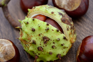 A buckeye tree nut.