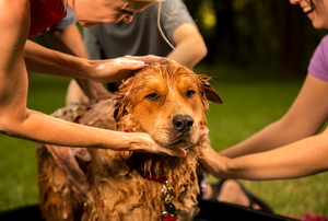 Several people giving a dog a bath.