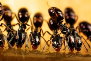 A row of black ants feeding on some syrup.