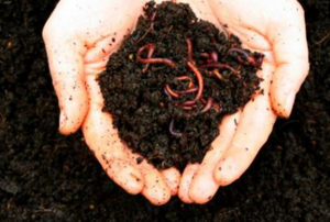 A person's hands full of worms crawling through dirt