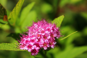 hot pink spirea bloom