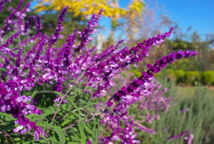 Purple Sage: Planting and Care Instructions