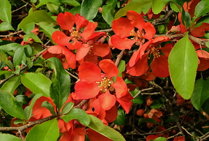 A shrub of flowering quince in full bloom.