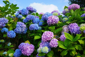 A blue and purple hydrangea shrub.