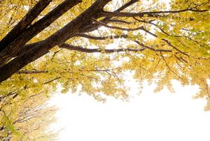 A Ginkgo tree.