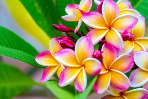 beautiful multi colored plumeria flowers