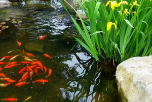 goldfish swirling in a pond with rocks and flowers