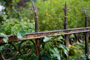 vines covering an old, rusty fence