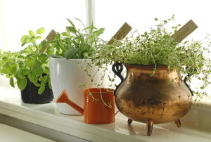 A row of potted herbs in front of a window.
