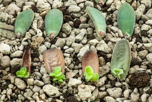 Succulent leaves with new plants growing off of them.
