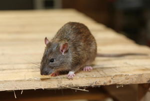 A rat on a piece of plywood.