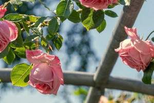 pink roses growing on a trellis