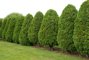 A row of arborvitae trees.