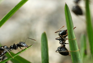 Ants on grass.