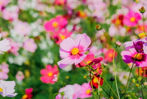 beautiful pink, white, and purple cosmos in a field