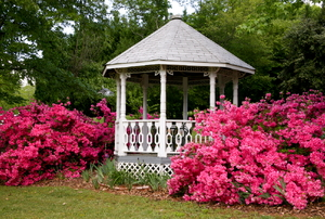 A white gazebo is surrounded by bushes blooming with pink flowers.