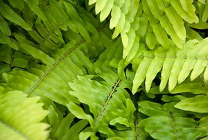 Several lush fronds belong to a healthy Boston fern.