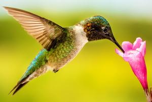 hummingbird feeding from pink weigela blossom