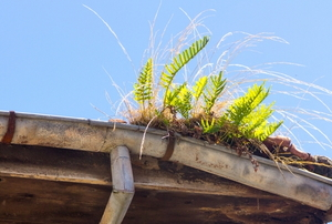 old gutter with ferns and grass growing out