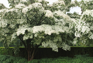 kousa dogwood tree flowering with white blossoms
