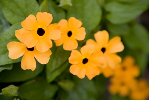 Several bright yellow blossoms of a black-eyed Susan vine.
