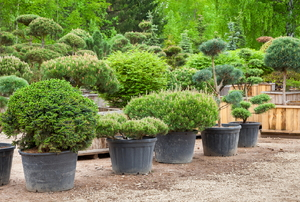 A collection of boxwood plants.