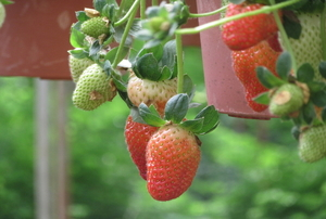 growing strawberries in hanging baskets