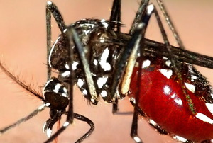 A tiger mosquito sucking your blood.