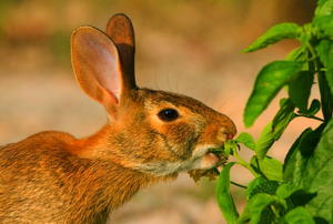 A rabbit eating a green plant.