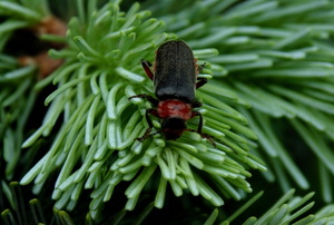 bug on fir tree branch