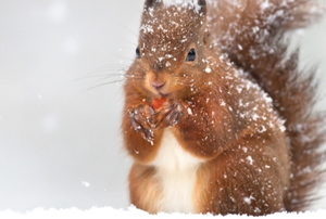 A squirrel in winter.
