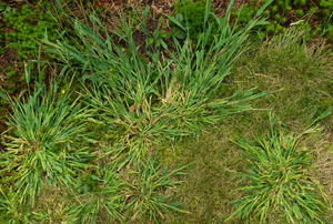 Patches of crabgrass on a lawn.