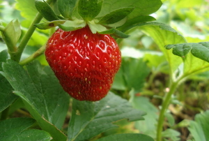 A single ripe strawberry attached to a plant.