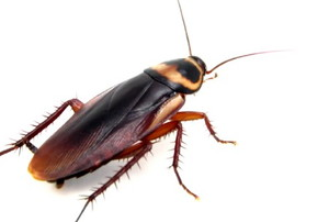 American Roach close up on a white background