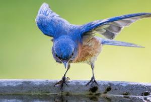 A blue bird on the edge of a bird bath