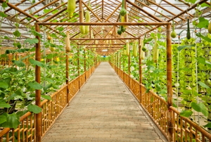 The interior of a bamboo greenhouse.