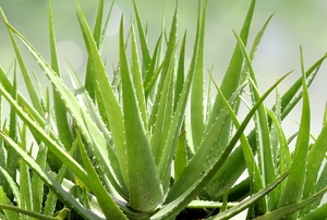 aloe vera plants growing in light