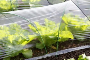 garden fabric covering a row of lettuce plants