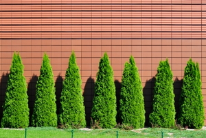 A row of green arborvitae against a pink wall.