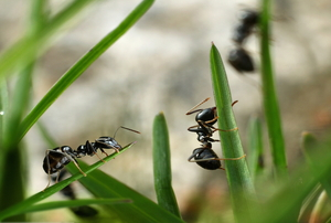 black ants crawling on grass
