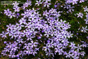 One of the most striking 'blue' creeping phlox cultivars.